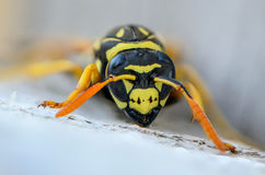 Portrait of a close-up of a wasp. Which sits on the old board Royalty Free Stock Photos