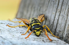 Portrait of a close-up of a wasp. Which sits on the old board Royalty Free Stock Photography
