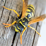 Portrait of a close-up of a wasp. Which sits on the old board Stock Image
