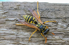 Portrait of a close-up of a wasp. Which sits on the old board Royalty Free Stock Image