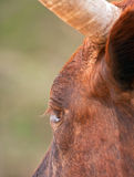 Portrait closeup of brown cow Royalty Free Stock Photography