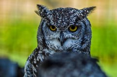 Portrait closeup of a cute and beautiful spotted eagle owl in a zoo in South Africa. Portrait closeup of a cute and beautiful spotted eagle owl in a reserve in royalty free stock image