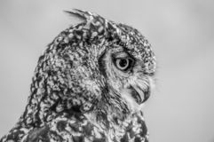 Portrait closeup of a cute and beautiful spotted eagle owl in a zoo in South Africa. Portrait closeup of a cute and beautiful spotted eagle owl in a reserve in royalty free stock photography