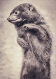 Portrait closeup of a dwarf mongoose in sepia Royalty Free Stock Image