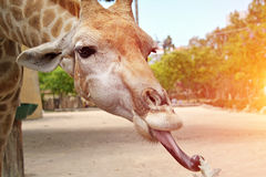 Portrait closeup of a giraffe with its tongue hanging out. Portrait closeup of a giraffe with its tongue hanging out Stock Photography