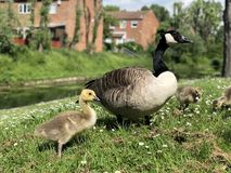 Portrait closeup of Goose and gosling stock photography