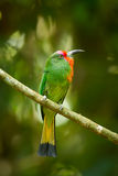 Portrait closeup of  Red-bearded Bee-eater Royalty Free Stock Image