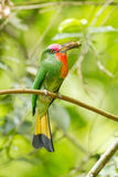 Portrait closeup of Red-bearded Bee-eater Stock Photo