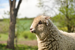 Portrait of clumsy lamb standing on grass Royalty Free Stock Photo