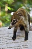 Portrait of a Coati in its natural environment.  stock photo