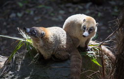 Portrait of a coati. Royalty Free Stock Images