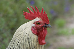 Portrait of a cock close-up. Male domestic chicken. Shooting on the street Stock Photos