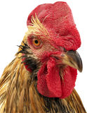 Portrait of cock on white background. Stock Image