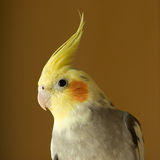 Portrait of Cockatiel Royalty Free Stock Photos