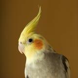 Portrait of Cockatiel Royalty Free Stock Photos