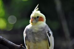 Portrait of a cockatiel bird royalty free stock image