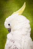 Portrait of cockatoo Royalty Free Stock Images