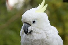 Portrait of a cockatoo Stock Image