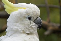 Portrait of a cockatoo Stock Photo
