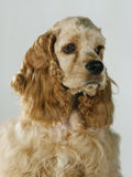 A portrait of a cocker spaniel. A peach-colored pedigree dog Stock Images