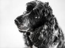 Portrait of a Cocker Spaniel dog. Closeup portrait of a black Cocker Spaniel dog with floppy ears and sad eyes, white background royalty free stock photo