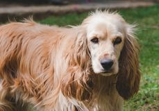 Portrait of cocker spaniel female looking at the camera. royalty free stock images