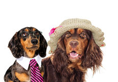 Cocker spaniel in Hat and a dachshund dog in a tie royalty free stock photography