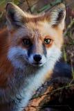 Portrait of Cody the red fox Stock Photos