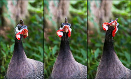 Portrait Collage of Helmeted Guineafowl Numidia Meleagris Numidi Stock Images
