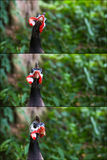 Portrait Collage of Helmeted Guineafowl Numidia Meleagris Numidi Royalty Free Stock Photos