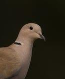 Portrait of Collared Dove Stock Photo