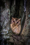 Portrait of Collared scops owl Stock Photo