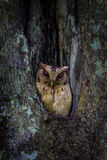 Portrait of Collared scops owl Royalty Free Stock Photo