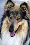 Portrait of a collie dog Stock Photo