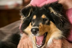 Portrait of a collie dog Stock Image
