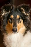 Portrait of a collie dog Royalty Free Stock Photos