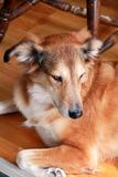Portrait of collie dog. Rough collie dog lying on wooden floor enjoys and resting. Lovely cute dog, pretty, pet concept. stock photos