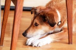 Portrait of collie dog. Rough collie dog lying on wooden floor enjoys and resting. Lovely cute dog, pretty, pet concept. royalty free stock images