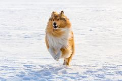 Portrait of collie dog running on snow field. Outdoors Stock Image