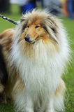 Portrait Collie Royalty Free Stock Photography