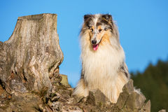 Portrait of a collie dog Royalty Free Stock Photo