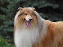 Portrait of collie Stock Image