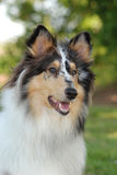 Portrait of a Collie, rough coat Stock Photos