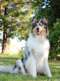Portrait of a Collie, rough coat Royalty Free Stock Photography