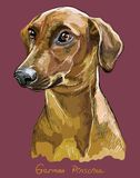 Portrait coloré de dessin de main de vecteur de Pinscher allemand Photographie stock libre de droits