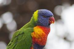 Portrait coloré de perroquet Photos libres de droits