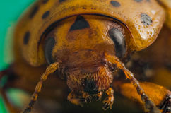 Portrait of the Colorado potato beetle close-up Royalty Free Stock Photo