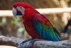 Ara parrot on the tree. Stock Images