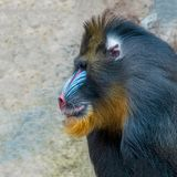 Portrait of colorful and big curious African mandrill, an alpha male royalty free stock photos