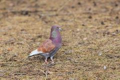 Portrait of a colorful dove royalty free stock image